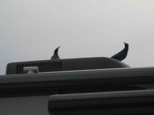 Great-tailed Grackles perch on the top of our bus and peck on shiny surfaces. This makes the dogs bark.
