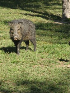 These Javelinas are not afraid of us but neither are they aggressive.