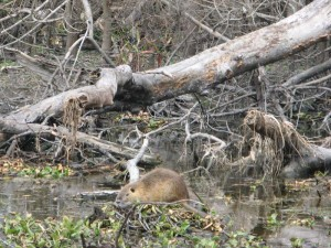 A nutria, disturbed by our boat swims to his nest.
