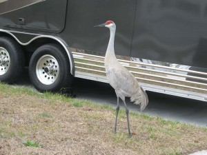 At Quail Run RV Park we were amazed to see Sand Cranes walking around the RV sites.